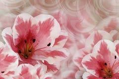 Fundo bonito cor-de-rosa-branco floral Composição da flor Cartão dos lírios cor-de-rosa-brancos em um fundo cor-de-rosa Close-up Imagem de Stock Royalty Free