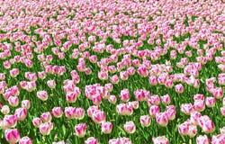 Fundo bonito da flor Opinião surpreendente as tulipas brancas brilhantes que florescem no jardim no meio do dia de mola ensolarad imagem de stock