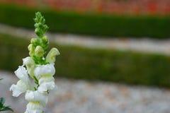 Fundo bonito da flor Vista surpreendente das flores brancas brilhantes que florescem no jardim fotos de stock
