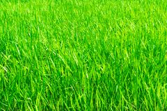 Fundo bonito da grama verde Imagens de Stock