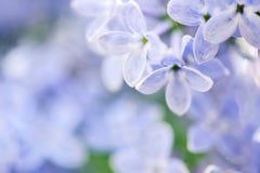 Fundo bonito da mola com lilás Imagem de Stock Royalty Free