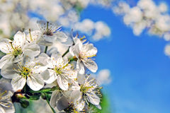 Fundo bonito da mola Flor de cerejeira na flor completa Fotos de Stock Royalty Free