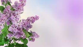 Fundo bonito da mola Ramos lilás contra um fundo do céu do inclinação Fotografia de Stock