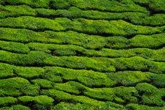 Fundo bonito da plantação de chá verde foto de stock royalty free