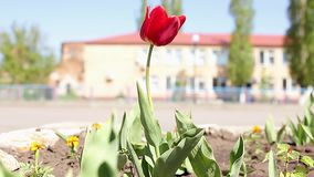 Fundo bonito das flores Close up e ideia surpreendente de crescer o campo de flor vermelho das tulipas sob a luz solar no meio filme