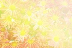 Fundo bonito das flores com o crisântemo vermelho e amarelo Fotos de Stock Royalty Free
