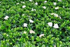 Fundo bonito das folhas verdes e das flores brancas fotografia de stock