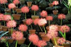 Fundo bonito de flores cor-de-rosa inchado em uns potenciômetros de argila, grupo em rochas no jardim Imagem de Stock