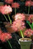 Fundo bonito de flores cor-de-rosa inchado em uns potenciômetros de argila, grupo em rochas no jardim Fotografia de Stock Royalty Free