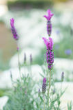 Fundo bonito de Violet Lavender Flowers For Nature do ramalhete fotografia de stock