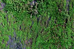 Fundo bonito do carvalho velho coberto com o musgo verde imagens de stock royalty free