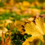 Fundo bonito do outono com folhas de bordo amarelas Fotografia de Stock Royalty Free