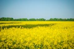 Fundo bonito do panorama com a colza amarela do campo de flores na flor Imagens de Stock Royalty Free