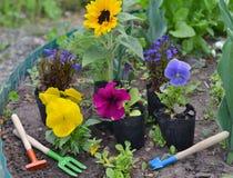 Fundo bonito do verão com as flores em plantar potenciômetros e ferramentas de jardim Imagens de Stock Royalty Free