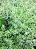 Fundo bonito do verde da natureza do arbusto da planta da folha Fotos de Stock Royalty Free