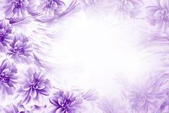 Fundo bonito roxo-branco floral Composição das dálias azul-brancas das flores Cartão para o feriado nave Imagem de Stock