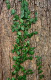 Fundo bonito, torções da hera na madeira Foto de Stock Royalty Free