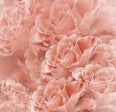 Fundo bonito vermelho-branco floral Composição da flor Ramalhete das flores da luz - rosas roxas Close-up Fotos de Stock