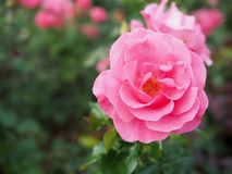 Fundo borrado da rosa do rosa, fundo da rosa do rosa Imagem de Stock Royalty Free