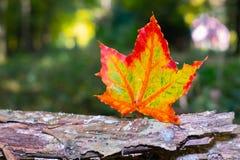 Fundo borrado vermelho e amarelo de uma folha da árvore de bordo fotografia de stock royalty free