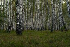Fundo - bosque do vidoeiro fotografia de stock royalty free