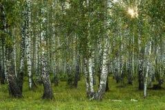 Fundo - bosque do vidoeiro fotos de stock