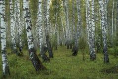 Fundo - bosque do vidoeiro foto de stock
