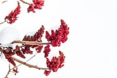 Fundo branco com inflorescência vermelha foto de stock royalty free