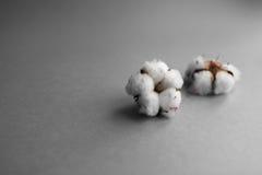 Fundo branco com ramo da planta de algodão Fotos de Stock