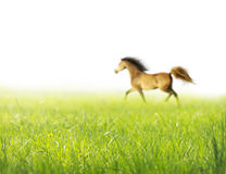 Fundo branco da grama do trote do cavalo da mola, isolado Fotografia de Stock Royalty Free