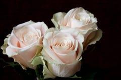 Fundo branco das rosas Natureza, flores, ramalhete Imagens de Stock Royalty Free
