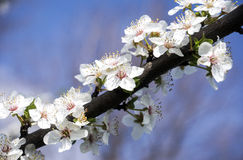 fundo branco do azul da flor da flor da mola Fotos de Stock Royalty Free