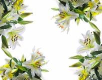 Fundo branco dos lilys Fotos de Stock