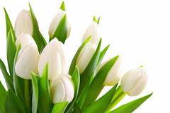 Fundo branco dos tulips Imagens de Stock