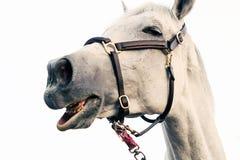 Fundo branco isolado do cavalo retrato engraçado Fotos de Stock Royalty Free