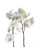 Fundo branco isolado flor da orquídea fotografia de stock royalty free
