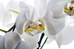 Fundo branco isolado flor da orquídea fotografia de stock