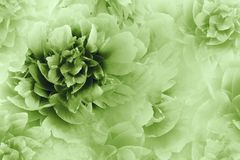 Fundo branco-verde floral As peônias florescem o close-up em uma luz de intervalo mínimo transparente - fundo verde ano novo feli fotografia de stock royalty free