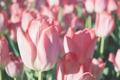 Fundo brilhante das tulipas, bandeira Tulipas bonitas da flor com luz solar e bokeh Cartão da tulipa foco seletivo, imagem de stock