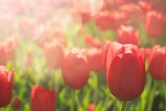 Fundo brilhante das tulipas, bandeira Tulipas bonitas da flor com luz solar e bokeh Cartão da tulipa foco seletivo, fotos de stock