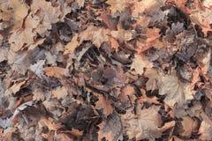 Fundo caído das folhas Imagem de Stock