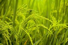 Fundo, campos verde-amarelos do arroz fotos de stock