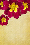 Fundo carmesim do Primula imagem de stock