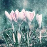 Fundo chuvoso da flor do açafrão da mola Imagem de Stock Royalty Free