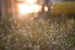 Fundo claro da grama e do sol da flor Fotos de Stock