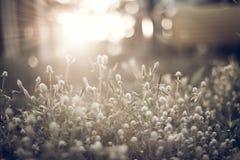 Fundo claro da grama e do sol da flor Imagens de Stock