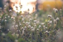 Fundo claro da grama e do sol da flor Imagens de Stock Royalty Free