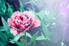 Fundo colorido brilhante das tulipas Tulipas bonitas da flor com luz solar e bokeh Cartão da tulipa foco seletivo, imagens de stock royalty free