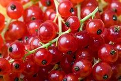 Fundo colorido da fruta da baga da passa de Corinto vermelha fotografia de stock