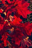 Fundo colorido de Autumn Foliage natural Fundo da natureza foto de stock